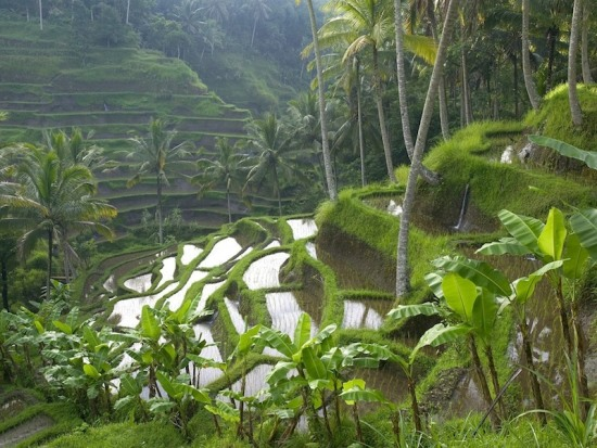 Rice Terrace in Ubud Bali